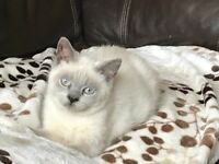 British Shorthair kittens - Ready Now