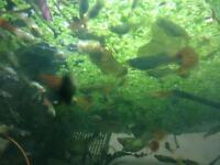 Guppy fish for aquarium fish tank