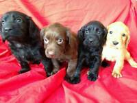 Cockerspaniel puppies