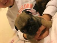 Gorgeous baby pug puppies 2 girls left