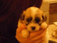 Shih Tzu / Bichon cross boy puppies
