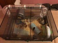 2 boys and 2 girls dwarf hamster
