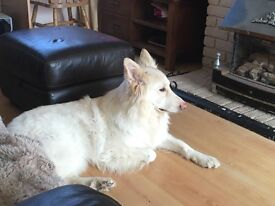 We have a pure white German shepherd dog that is sadly looking for a new home