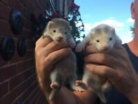 2 x silver hob ferrets for sale