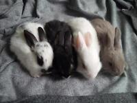 The most friendly and cute baby dwarf bunnies!