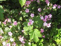 PERENNIAL PINK GERANIUMS - BORDER PLANTS