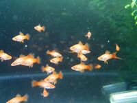 Bright Orange Swordtails
