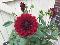 3ft tall dahlia Plant in pot.