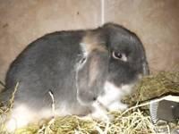 Minilop rabbit