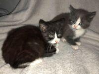 Beautiful kittens 1 male 1 female
