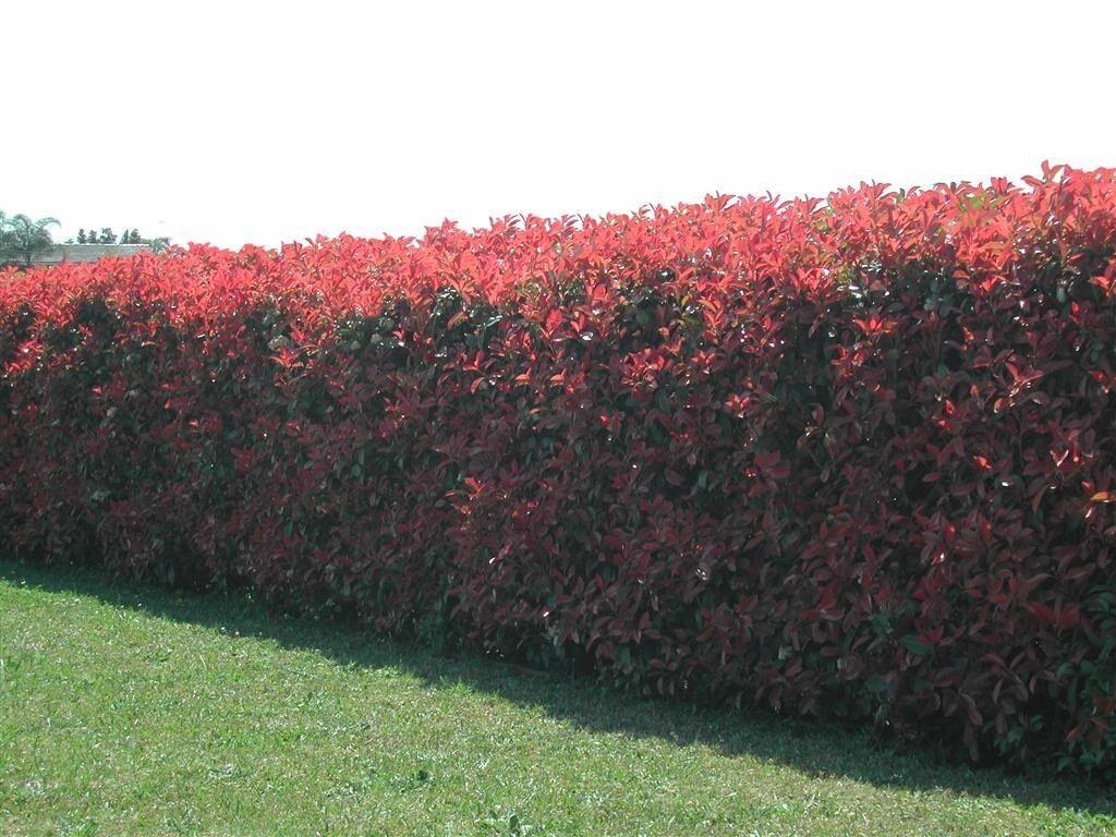 50 photinia red robin hedging plants 15 25cm bushy hedge shrubs ebay - Le piu belle piante da giardino ...