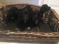 Beautiful Cockapoo Puppies One Girl Left