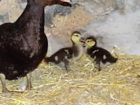 Placid Black Muscovy ducks free to a good home. 1 drake, 2 females and 2 ducklings (2 weeks old).