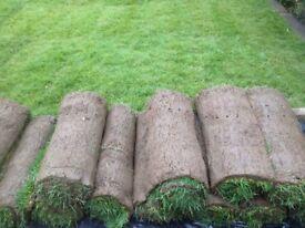 Lawn turf/lawn grass