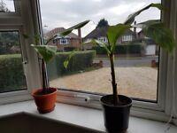 MUSA BASJOO Banana plant.