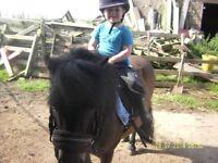 shetland ponies for loan