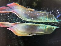 Silver arowana America Chilid tropical fish Tank not marine