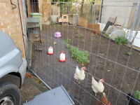 4 Hybrid Hens with coops and fencing - FULL SETUP