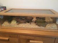 Female corn snake, 2.5ft viv and full set up