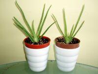 Aloe Vera Barbados Medicinal House Plants in Vases.