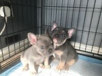 2 BOYS LEFT Lilac and tan & Blue and tan French Bulldogs Kc registered