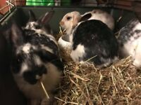 8 week old black&white domestic rabbits ready to go