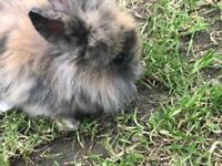 Mini lion head baby rabbits