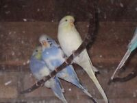 Lovely baby budgies