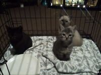 3 kittens for sale, ready now.