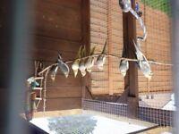 Cockatiels and budgerigars