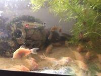 AQUARIUM FISH ALBINO CORIES,WHITE CORY FISH,BOTTOM TANK FISH