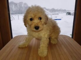 Pra/prcd 7 week old Top Quality Curly Cockapoo puppy