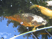 For sale Koi and a Pond full of other fish plus everything that come with it.