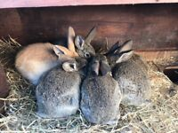 6 STUNNING BABY RABBITS READY NOW!!!