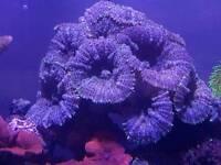 Large mushroom colonies for marine aquarium
