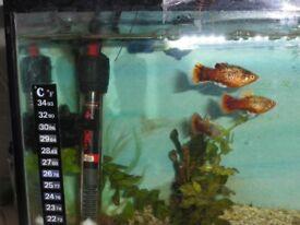 3 Galaxy Platies (Tropical Fish).