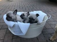 Blue fawn French bulldogs for sale