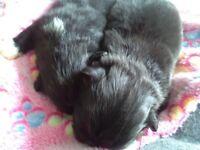 Beautiful male Pekingese puppy