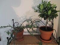 PLANTS ~ CACTI ~ CACTUS ~ SUCCULENTS ~ £8 EACH