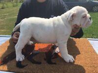 ENGLISH Bulldog puppies,lovely and chunkie,british bulldog vaccinated