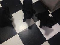 Rottweiler X jack russel pups