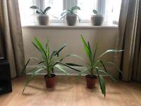 Yucca Elephantipes plants