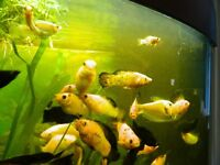 FREE tropical fish(Mollies)