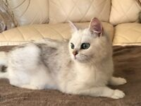 BSH male cat for sale