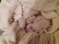 Bichon frise puppies 2 left