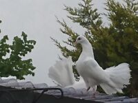 Fan tailed doves for sale