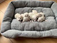 MALTESE PUPPIES !!!!
