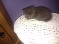 Full gray kitten
