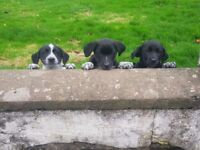 Collie x Lab puppies for sale