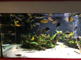 Approximately 50 adult African cichlids.